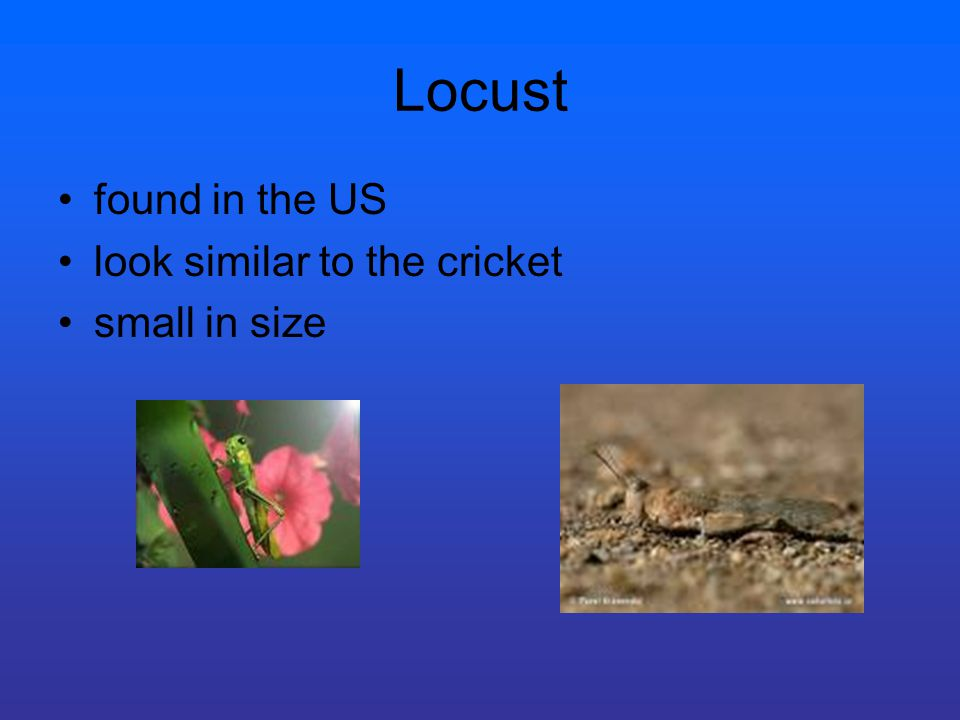 Locust found in the US look similar to the cricket small in size
