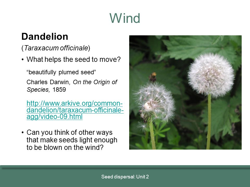 """Dandelion (Taraxacum officinale) What helps the seed to move? """"beautifully plumed seed"""" Charles Darwin, On the Origin of Species, 1859 http://www.arki"""