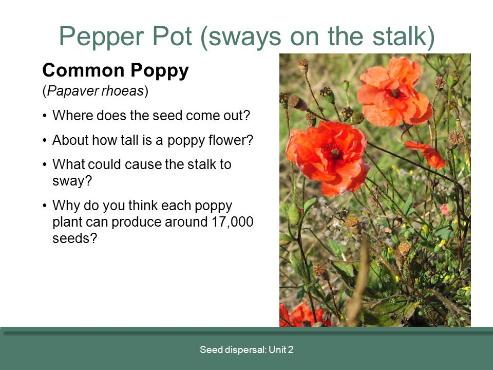Seed dispersal: Unit 2 Common Poppy (Papaver rhoeas) Where does the seed come out? About how tall is a poppy flower? What could cause the stalk to swa