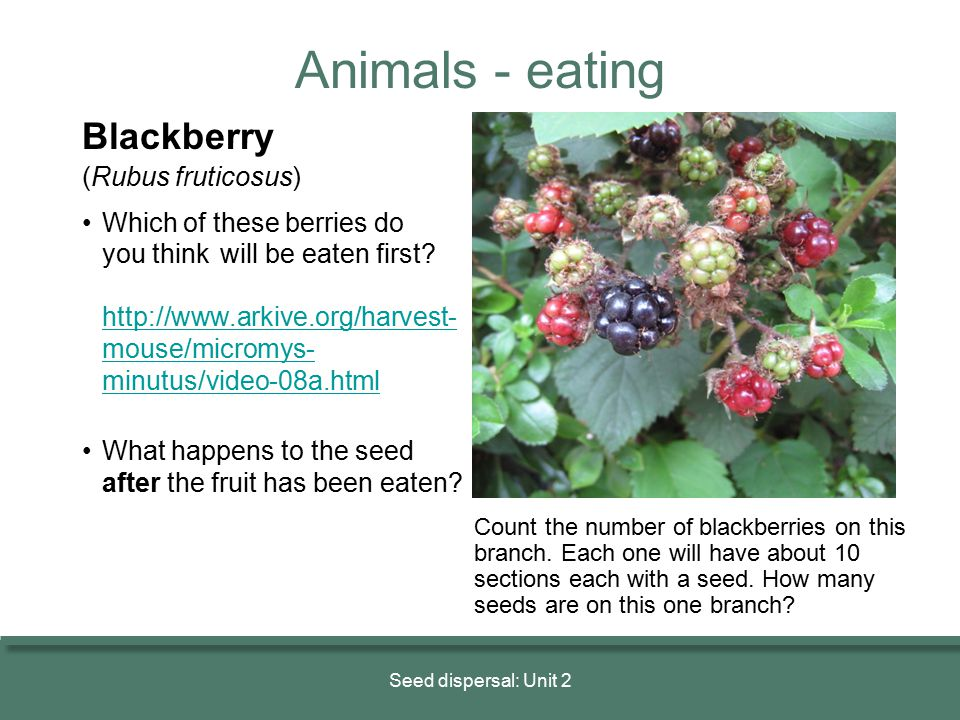 Blackberry (Rubus fruticosus) Which of these berries do you think will be eaten first? http://www.arkive.org/harvest- mouse/micromys- minutus/video-08