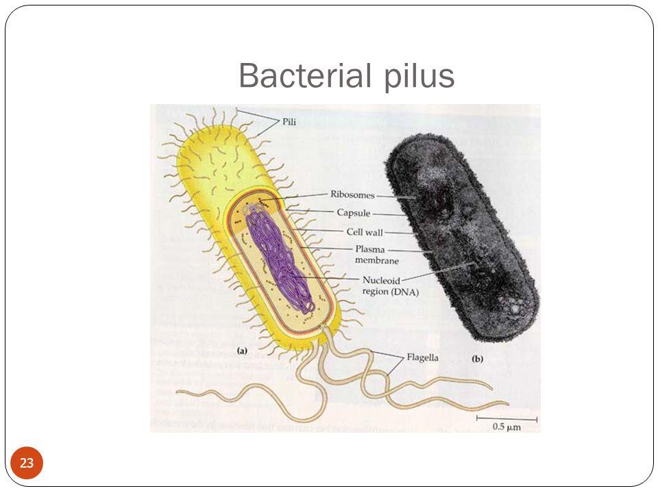 Bacterial pilus 23