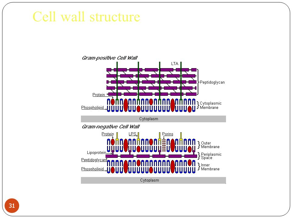 Cell wall structure 31