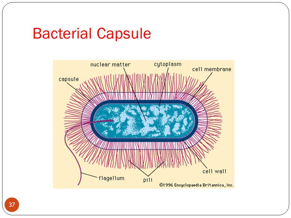 Bacterial Capsule 37