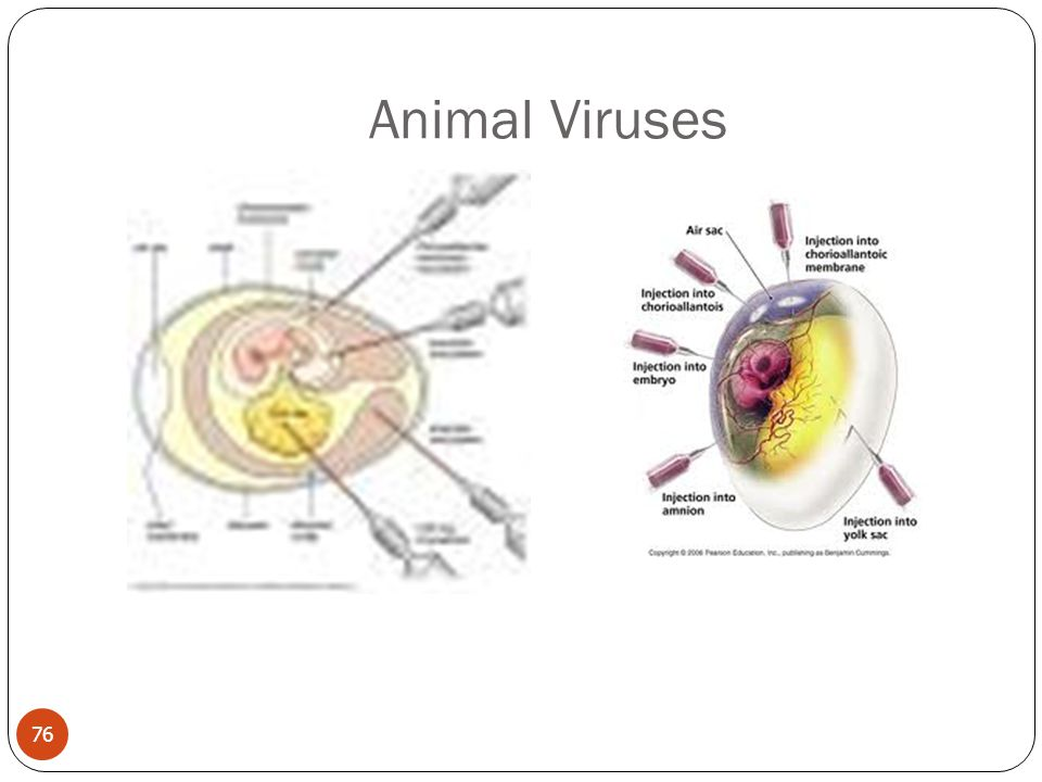 Animal Viruses 76