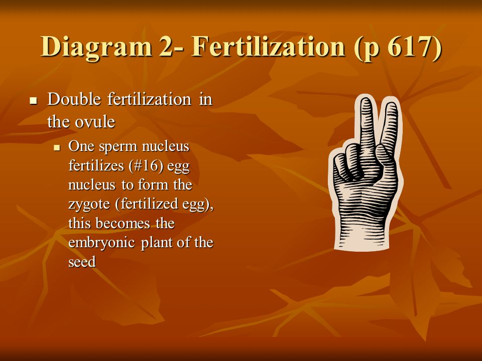 Diagram 2- Fertilization (p 617) Double fertilization in the ovule Double fertilization in the ovule One sperm nucleus fertilizes (#16) egg nucleus to