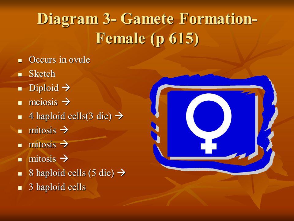 Diagram 3- Gamete Formation- Female (p 615) Occurs in ovule Occurs in ovule Sketch Sketch Diploid  Diploid  meiosis  meiosis  4 haploid cells(3 di