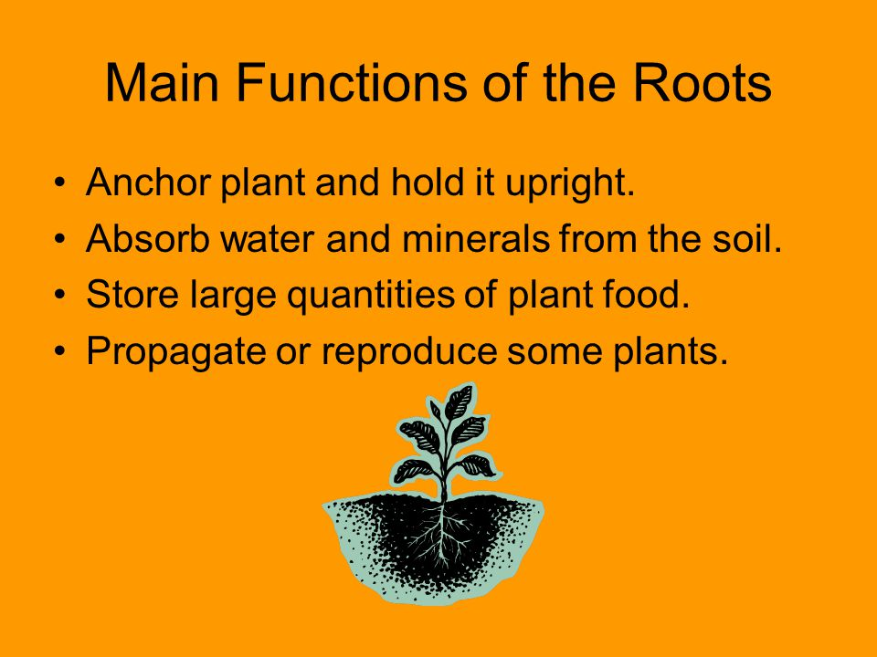 Main Functions of the Roots Anchor plant and hold it upright. Absorb water and minerals from the soil. Store large quantities of plant food. Propagate