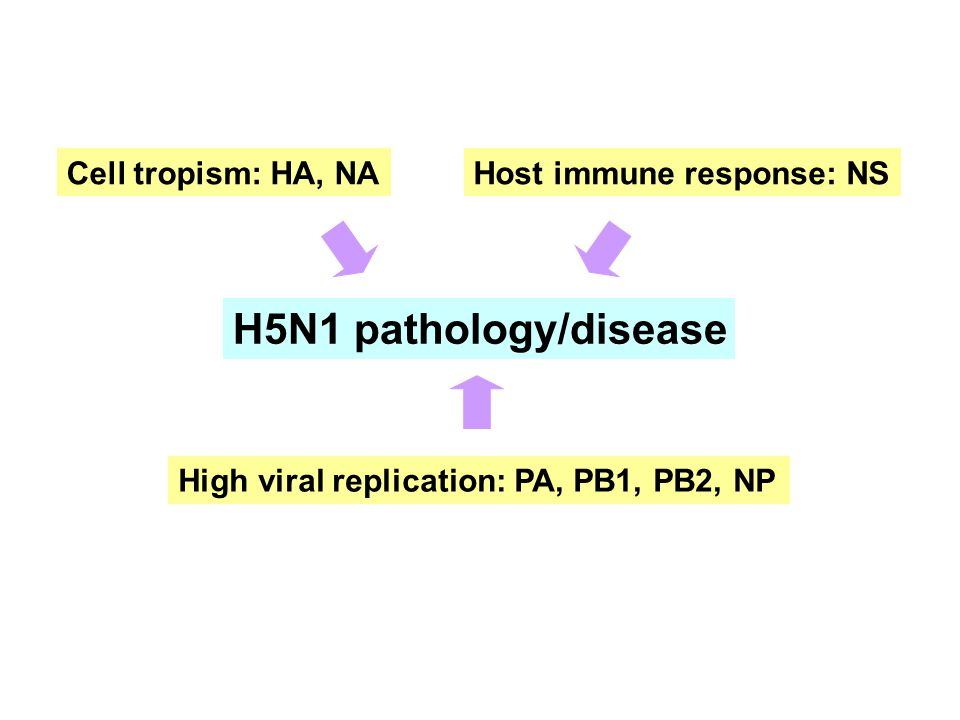 H5N1 pathology/disease Cell tropism: HA, NA High viral replication: PA, PB1, PB2, NP Host immune response: NS