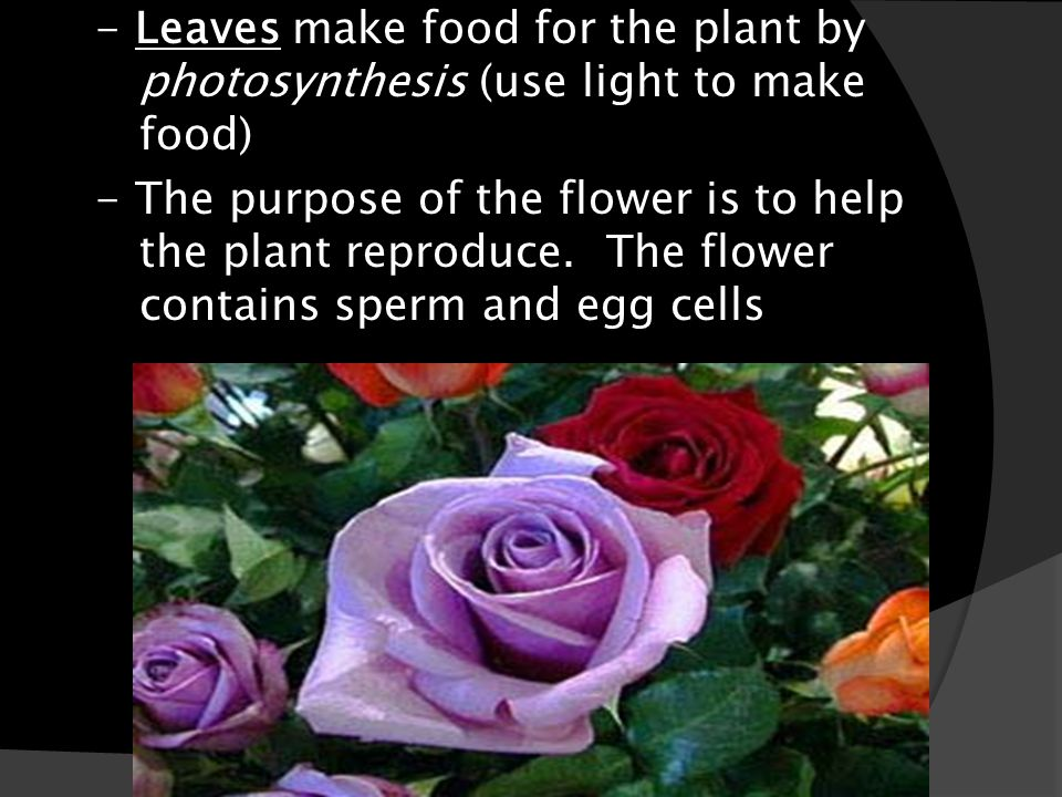 - Leaves - Leaves make food for the plant by photosynthesis (use light to make food) - The purpose of the flower is to help the plant reproduce. The f