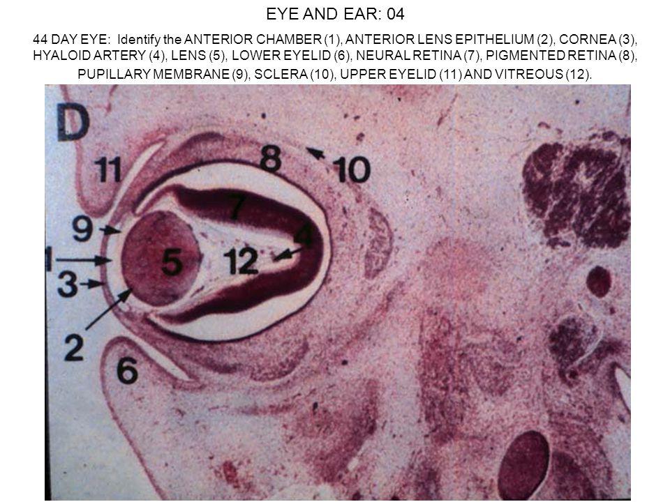 EYE AND EAR: 04 44 DAY EYE: Identify the ANTERIOR CHAMBER (1), ANTERIOR LENS EPITHELIUM (2), CORNEA (3), HYALOID ARTERY (4), LENS (5), LOWER EYELID (6), NEURAL RETINA (7), PIGMENTED RETINA (8), PUPILLARY MEMBRANE (9), SCLERA (10), UPPER EYELID (11) AND VITREOUS (12).