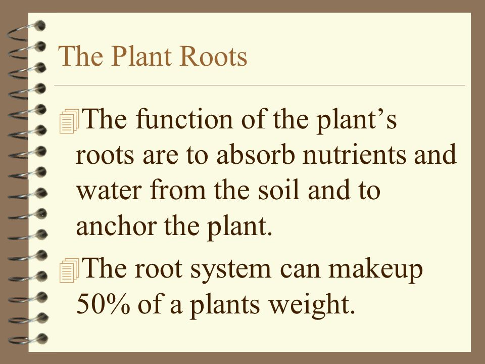 The Plant Roots 4 The function of the plant's roots are to absorb nutrients and water from the soil and to anchor the plant. 4 The root system can mak