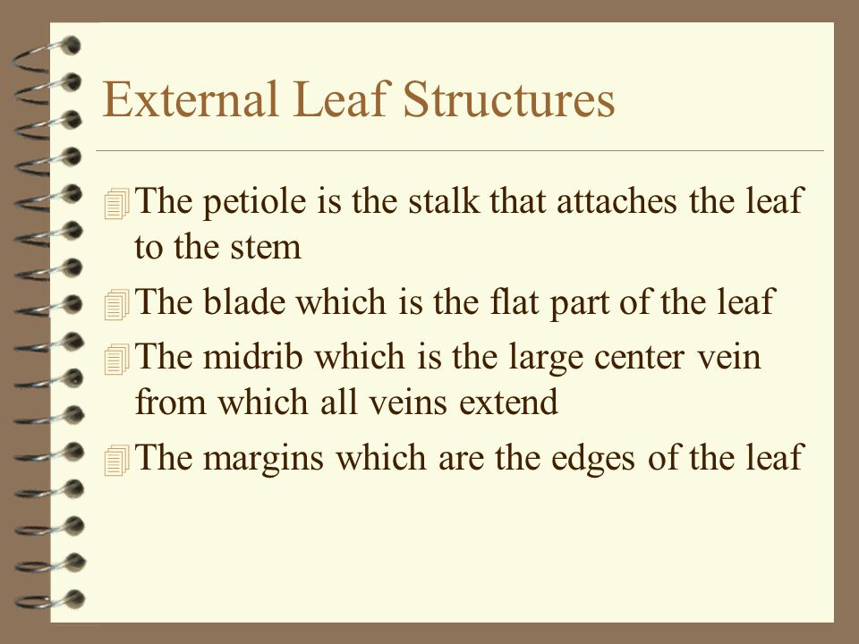 External Leaf Structures 4 The petiole is the stalk that attaches the leaf to the stem 4 The blade which is the flat part of the leaf 4 The midrib whi