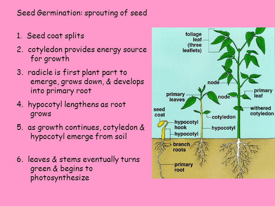 Seed Germination: sprouting of seed 1. Seed coat splits 2.