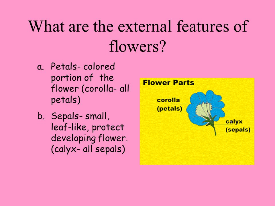 1.Pistil (carpel): female parts a. Stigma- sticky top of pistil traps pollen b.