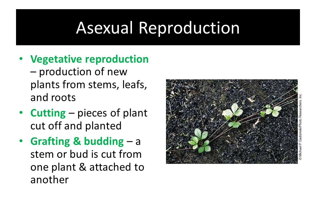Asexual Reproduction Vegetative reproduction – production of new plants from stems, leafs, and roots Cutting – pieces of plant cut off and planted Gra
