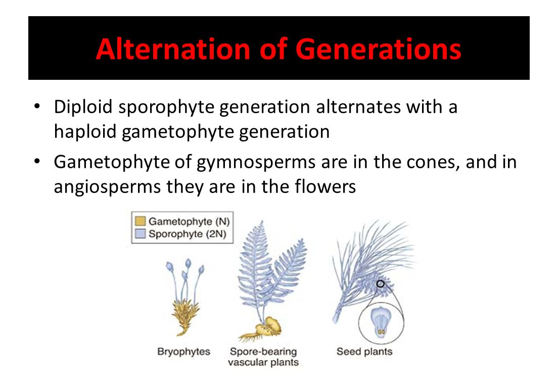 Alternation of Generations Diploid sporophyte generation alternates with a haploid gametophyte generation Gametophyte of gymnosperms are in the cones,