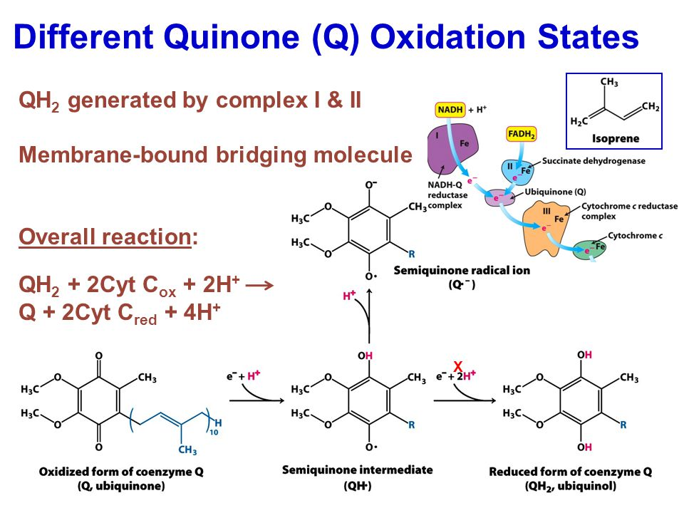 Different Quinone (Q) Oxidation States QH 2 generated by complex I & II Membrane-bound bridging molecule Overall reaction: QH 2 + 2Cyt C ox + 2H + Q + 2Cyt C red + 4H + X