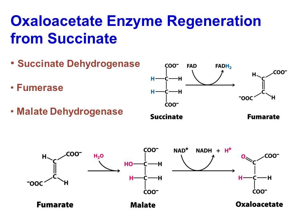 Oxaloacetate Enzyme Regeneration from Succinate Succinate Dehydrogenase Fumerase Malate Dehydrogenase