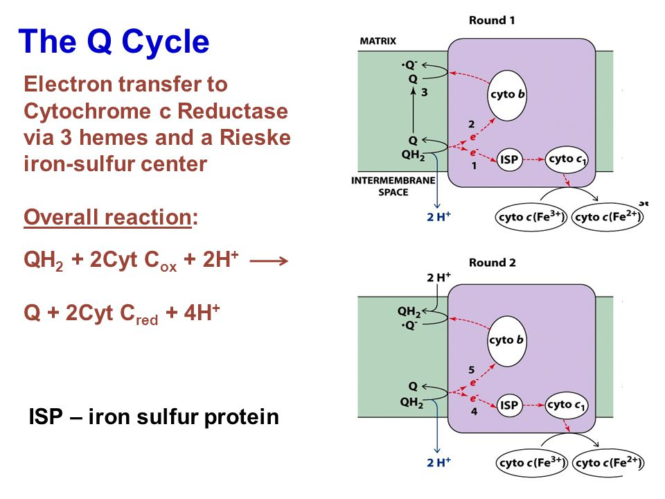 The Q Cycle Electron transfer to Cytochrome c Reductase via 3 hemes and a Rieske iron-sulfur center Overall reaction: QH 2 + 2Cyt C ox + 2H + Q + 2Cyt C red + 4H + ISP – iron sulfur protein