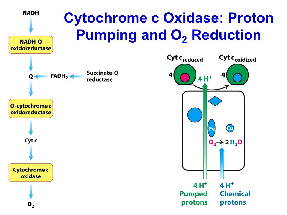 Cytochrome c Oxidase: Proton Pumping and O 2 Reduction