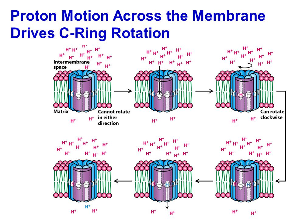 Proton Motion Across the Membrane Drives C-Ring Rotation