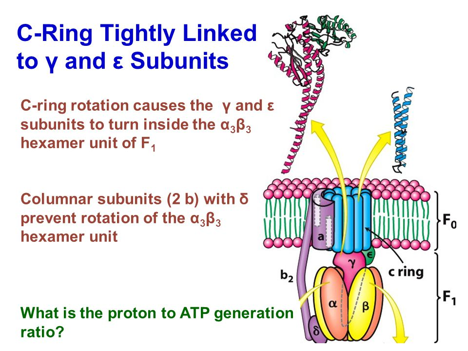 C-Ring Tightly Linked to γ and ε Subunits C-ring rotation causes the γ and ε subunits to turn inside the α 3 β 3 hexamer unit of F 1 Columnar subunits (2 b) with δ prevent rotation of the α 3 β 3 hexamer unit What is the proton to ATP generation ratio