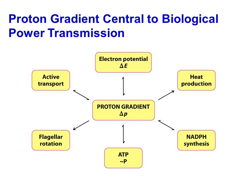 Proton Gradient Central to Biological Power Transmission