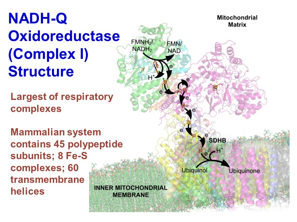 NADH-Q Oxidoreductase (Complex I) Structure Largest of respiratory complexes Mammalian system contains 45 polypeptide subunits; 8 Fe-S complexes; 60 transmembrane helices