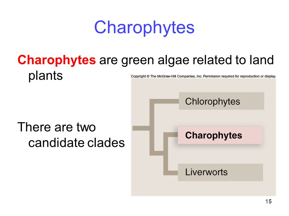 15 Charophytes Charophytes are green algae related to land plants There are two candidate clades