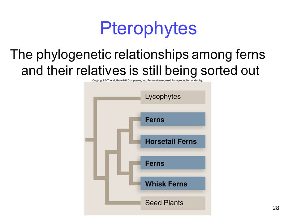 28 Pterophytes The phylogenetic relationships among ferns and their relatives is still being sorted out
