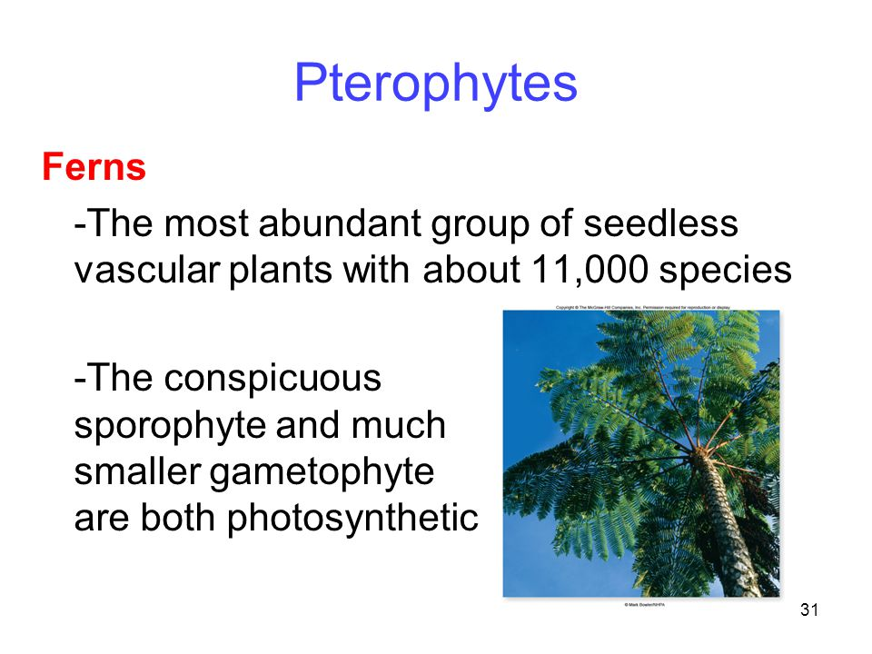 31 Pterophytes Ferns -The most abundant group of seedless vascular plants with about 11,000 species -The conspicuous sporophyte and much smaller gamet