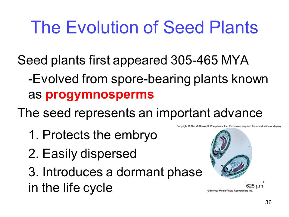 36 The Evolution of Seed Plants Seed plants first appeared 305-465 MYA -Evolved from spore-bearing plants known as progymnosperms The seed represents