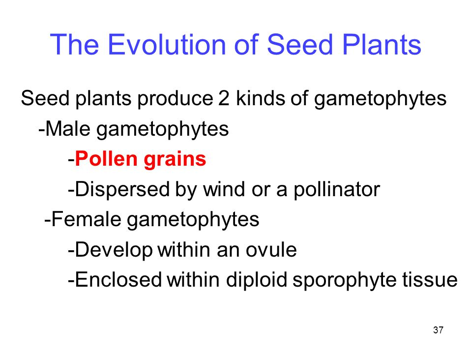 37 The Evolution of Seed Plants Seed plants produce 2 kinds of gametophytes -Male gametophytes -Pollen grains -Dispersed by wind or a pollinator -Fema