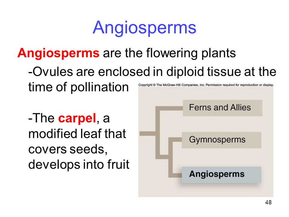 48 Angiosperms Angiosperms are the flowering plants -Ovules are enclosed in diploid tissue at the time of pollination -The carpel, a modified leaf tha
