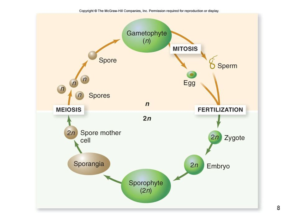 59 Angiosperm Life Cycle As the pollen tube enters the embryo sac, a double fertilization occurs -One sperm unites with egg to form the diploid zygote -Other sperm unites with the two polar nuclei to form the triploid endosperm -Provides nutrients to embryo When the seed germinates, a young sporophyte plant emerges