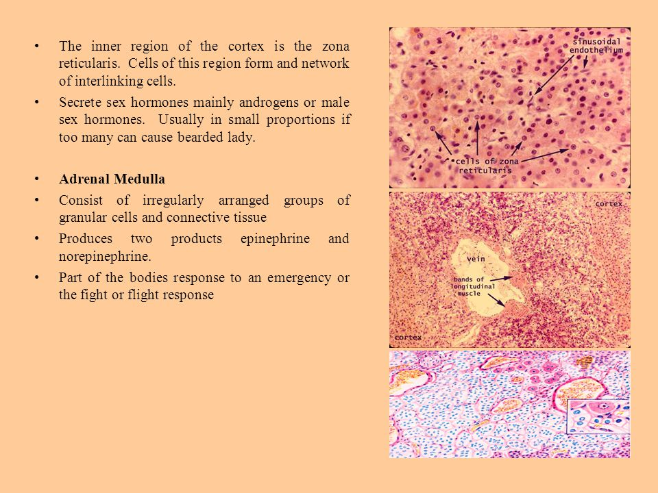 The inner region of the cortex is the zona reticularis.