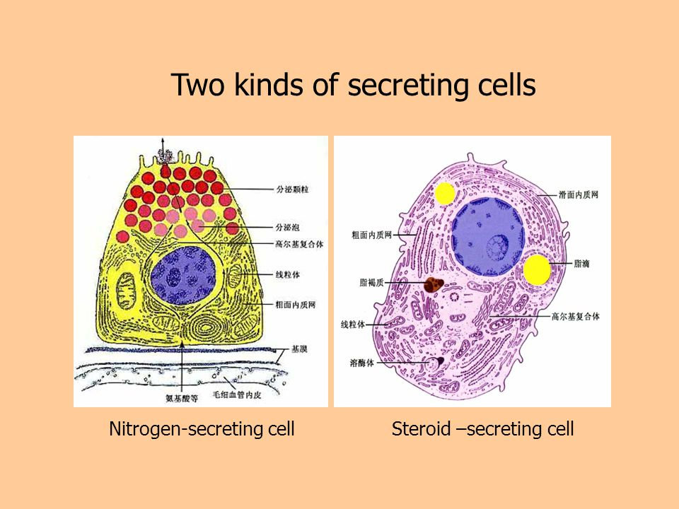 Two kinds of secreting cells Nitrogen-secreting cellSteroid –secreting cell