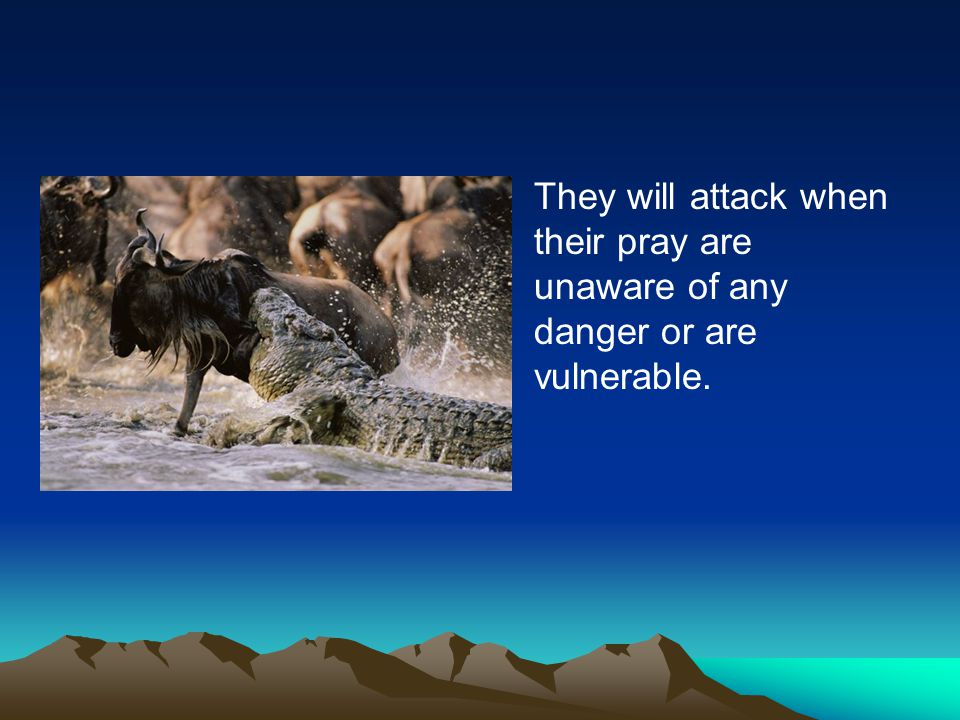 They will attack when their pray are unaware of any danger or are vulnerable.