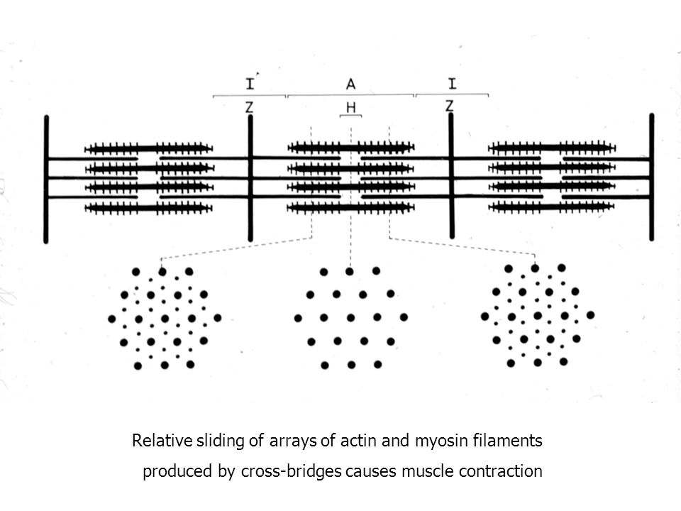 Relative sliding of arrays of actin and myosin filaments produced by cross-bridges causes muscle contraction