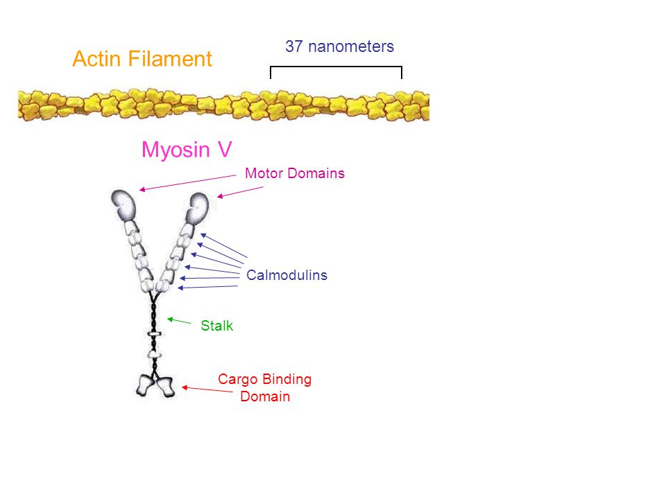 Myosin V Stalk Cargo Binding Domain Calmodulins Motor Domains Actin Filament 37 nanometers