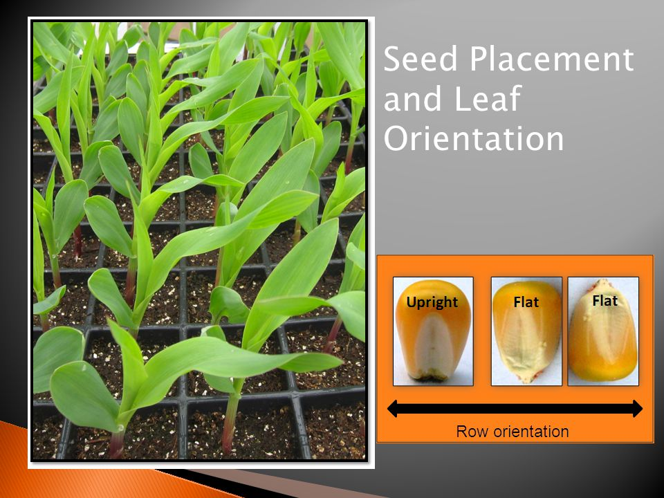 Seed Placement and Leaf Orientation