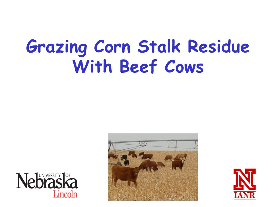 Grazing Corn Stalk Residue With Beef Cows