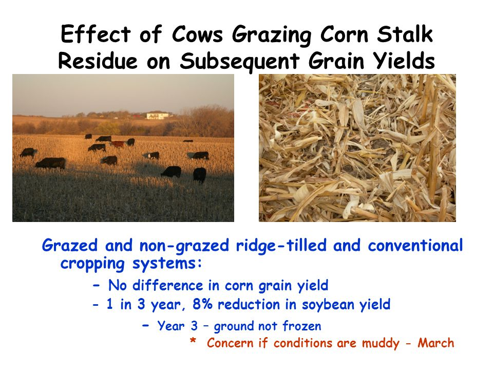 Effect of Cows Grazing Corn Stalk Residue on Subsequent Grain Yields Grazed and non-grazed ridge-tilled and conventional cropping systems: - No differ