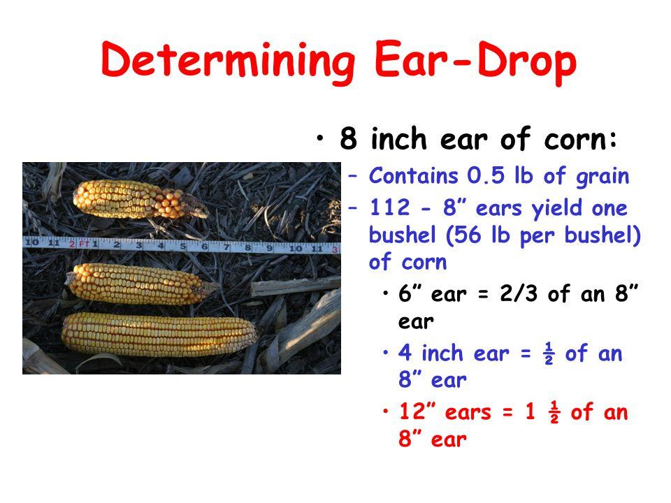 "Determining Ear-Drop 8 inch ear of corn: –Contains 0.5 lb of grain –112 - 8"" ears yield one bushel (56 lb per bushel) of corn 6"" ear = 2/3 of an 8"" ea"
