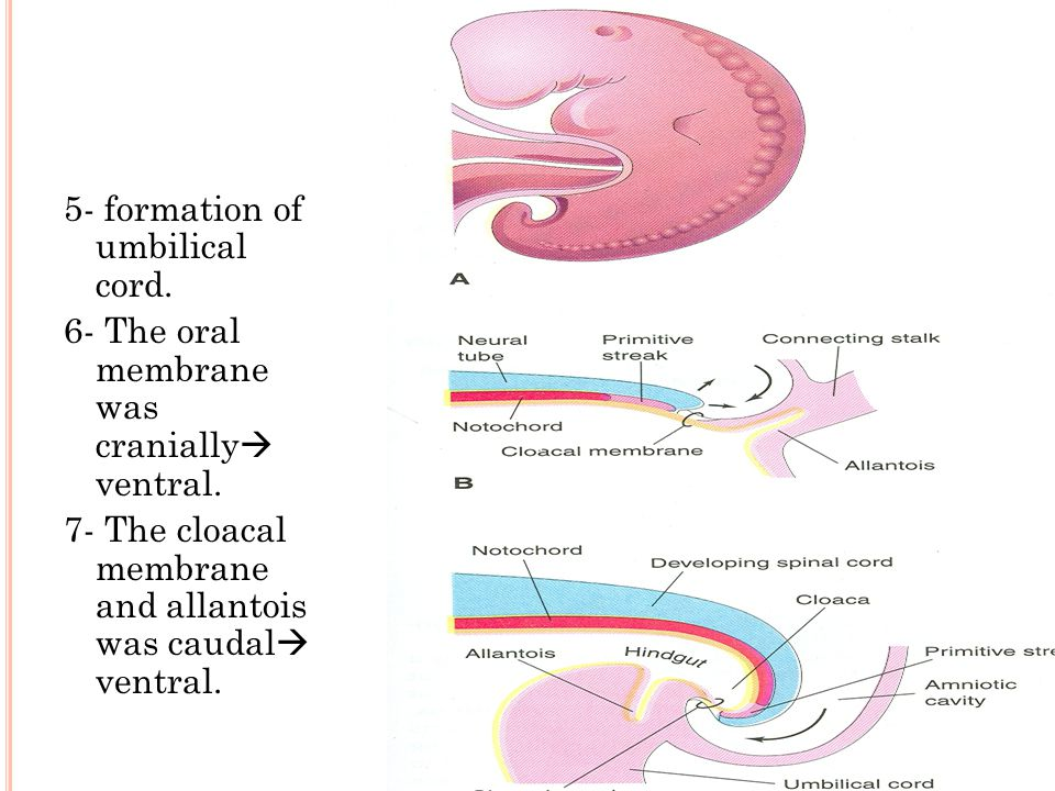 5- formation of umbilical cord. 6- The oral membrane was cranially  ventral.