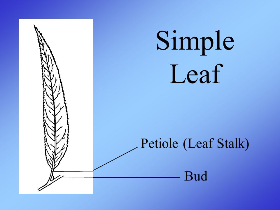 Simple Leaf Petiole (Leaf Stalk) Bud