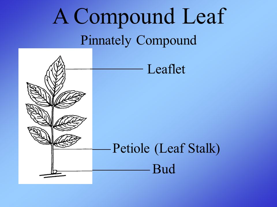 A Compound Leaf Leaflet Petiole (Leaf Stalk) Bud Pinnately Compound