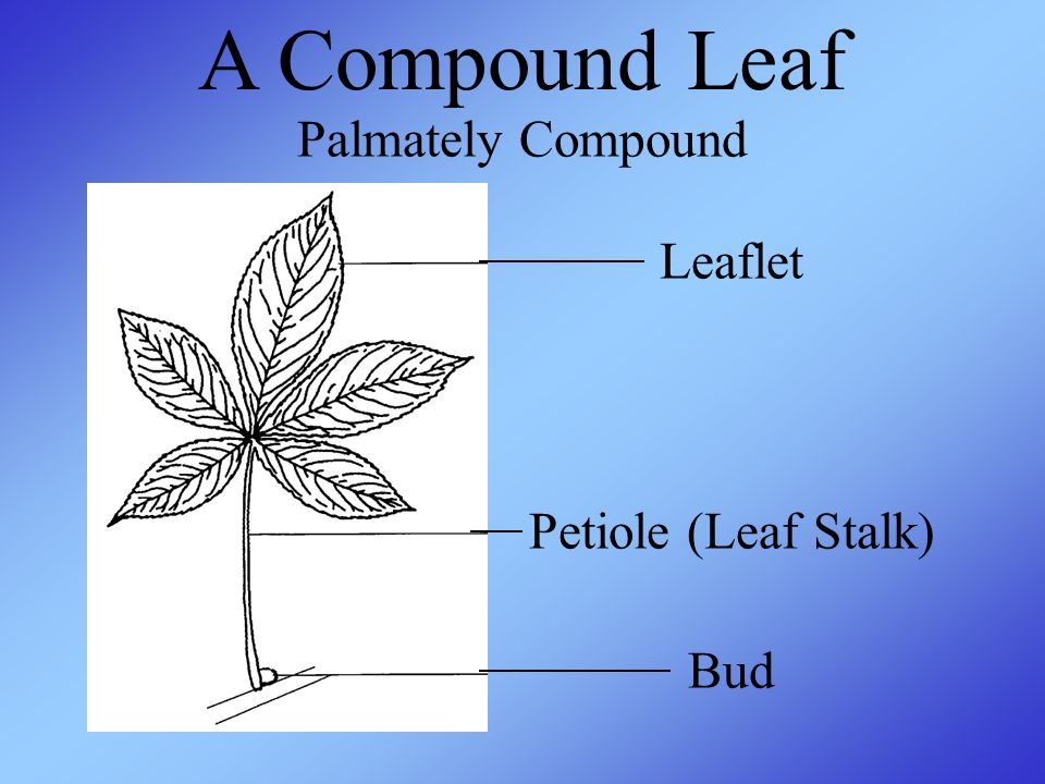 A Compound Leaf Palmately Compound Leaflet Petiole (Leaf Stalk) Bud