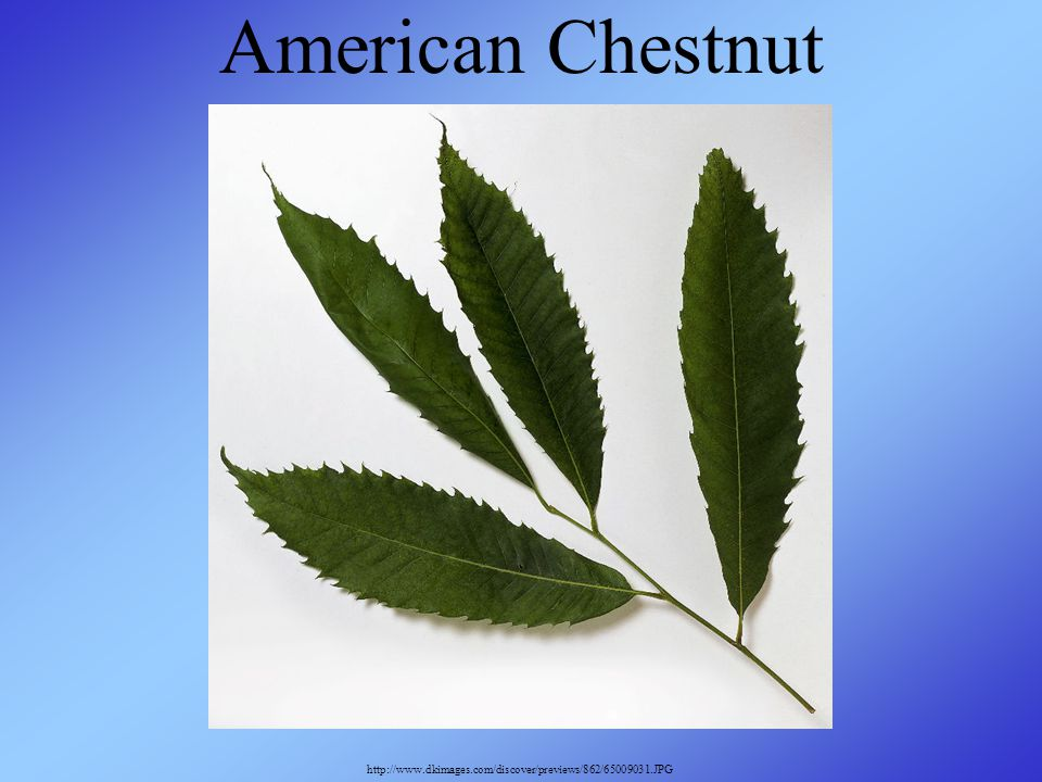 American Chestnut http://www.dkimages.com/discover/previews/862/65009031.JPG