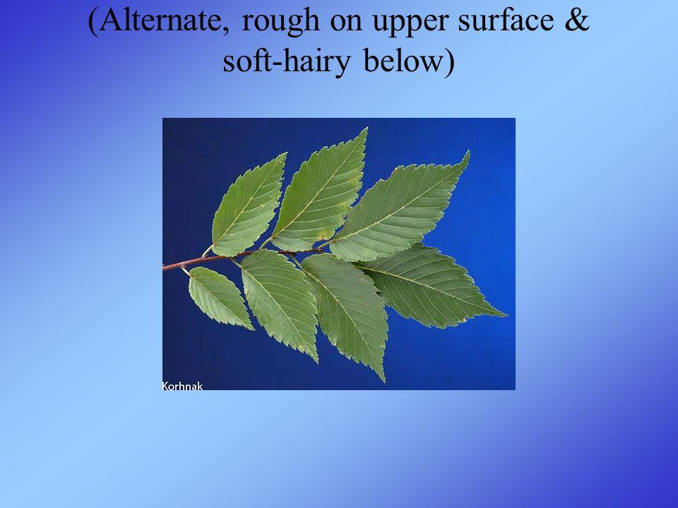 (Alternate, rough on upper surface & soft-hairy below)
